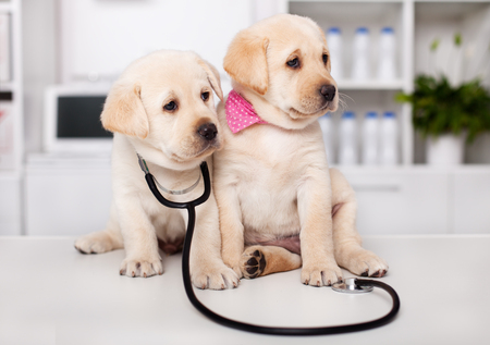 Two cute labrador puppy dogs sit on examination table at the veterinary doctor office - looking sideways with stethoscope hanging on the neck Zdjęcie Seryjne