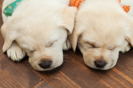 Cute labrador puppy dogs sleeping on wooden floor - close up on heads resting between paws, top view