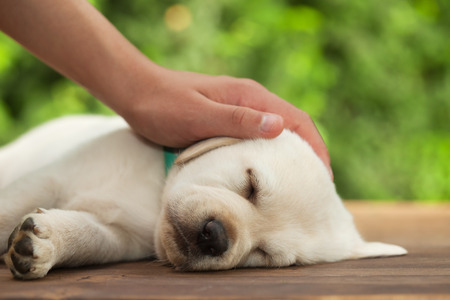 Hand protect a sleeping labrador puppy, caressing its head - close up