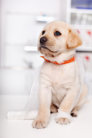 Cute labrador puppy in the veterinary doctor office tangled in bandage strip - sitting on examination table, closeup Zdjęcie Seryjne