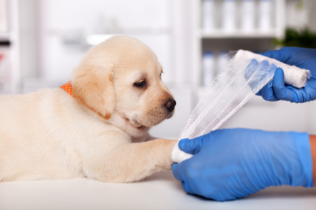 Veterinary healthcare professional hands put bandage on cute labrador puppy leg - close up Stock Photo - 119077289