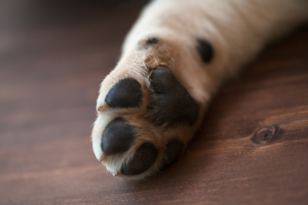 Labrador puppy dog paw resting on wooden surface - close up