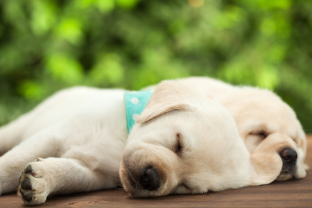 Cute labrador puppy dogs sleeping on wooden surface - lying side by side, close up