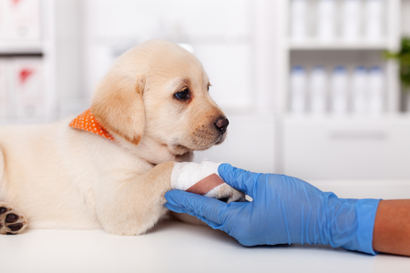Young labrador puppy dog resting its injured and bandaged paw in the animal healthcare professional hand - lying on the examination table at the veterinary doctor office
