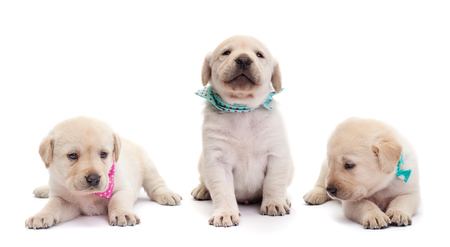 Cute labrador puppy dogs with colorful scarves isolated on white - lying or standing