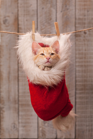 Cute christmas kitten asking for a nice present - praying with joined paws, nested in a santa hat Zdjęcie Seryjne