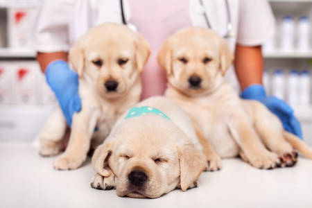 Cute labrador puppies at the veterinary doctor office - with one exhausted sleeping puppy in the forerground Stock Photo - 119077511