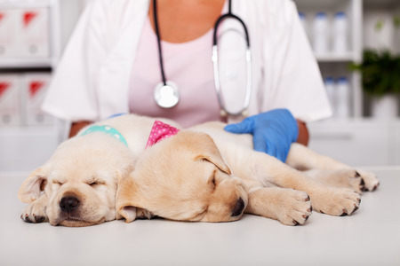 Cute labrador puppy dogs asleep on examination table at the veterinary doctor office - closeup, with the healthcare professional gently touching them