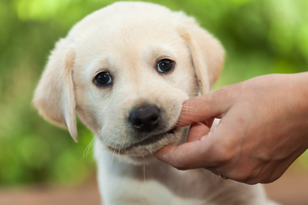 Cute labrador puppy dog chewing on owners finger - green blurry foliage bbackground, close up