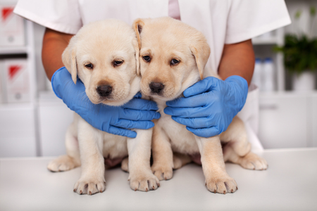 Two cute but frightened labrador puppy dogs at the veterinary doctor office - closeup of the healthcare professional hands hugging them to provide comfort before examination
