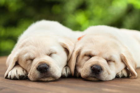 Cute labrador puppies sleeping on wooden deck - on green foliage background, close up Zdjęcie Seryjne