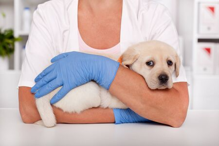 Frightened labrador puppy dog at the veterinary healthcare clinic being comforted by the hands of a professional - close up