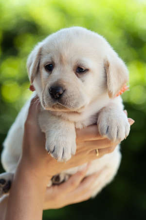 Woman hands holding a young labrador puppy dog high - against green foliage background, close up Foto de archivo