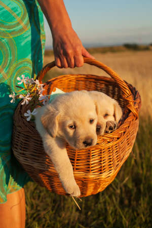 Two young labrador puppy dogs in a basket held in woman hands - taking a walk on the fields Foto de archivo