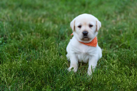 Alert labrador puppy dog sitting in the grass - cute furry ball watching the world