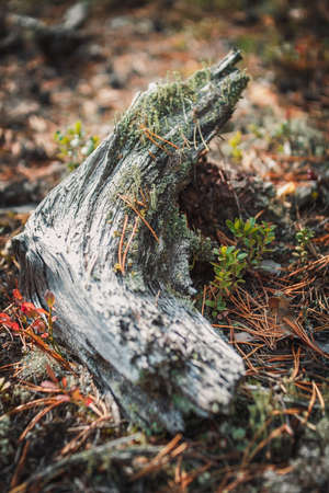 big cepe has hidden among vegetation in the wood, sun