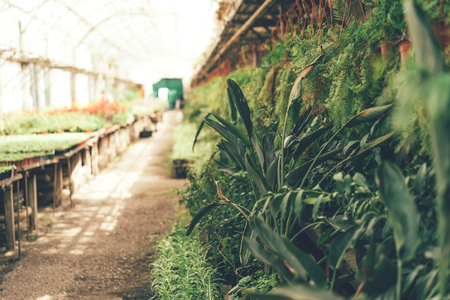 Long alley with plants in the greenhouse, sunlight through the glass roof