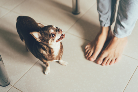 Chihuahuas little dog next to its owners feet, lifestyle concept.