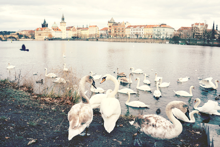 A flock of swans on the banks of the Vltava River in Prague.