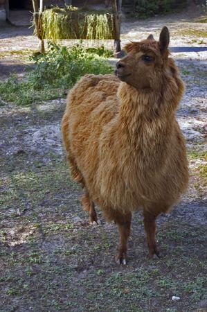 grazer: Llama Alpaca