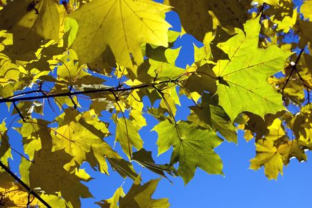 Yellow autumn leaves on a sky background