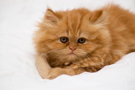 Persian kitten on a light background