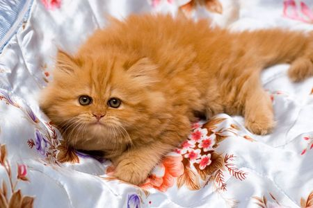 Persian kitten on color background Stock Photo