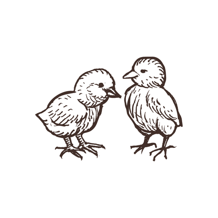 Two cute chickens isolated on white. Handdrawn chicks sketched birds. Vector illustration. Çizim