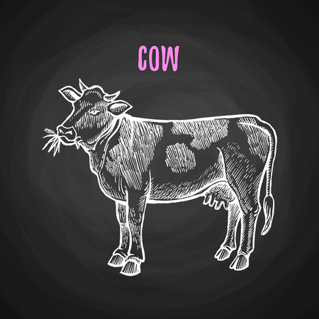 Animal cow in the style of chalk on a blackboard. Vector illustration of cow