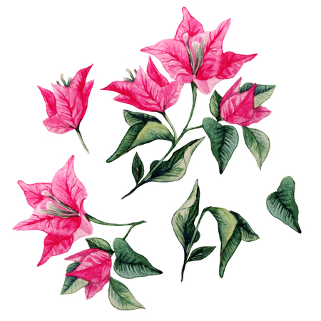Bougainvillea flower bouqet isolated clipart. Watercolor artistic illustration 스톡 콘텐츠