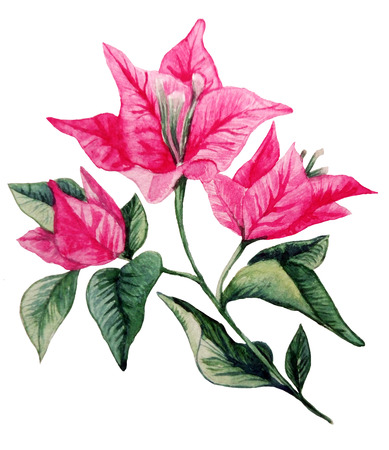 Bougainvillea flower bouqet isolated clipart. Watercolor illustration of Portugal flower