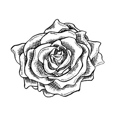 Rose Flower Bud in Sketch Style. Blossoming Single Rose Head flower Hand drawn Vector Isolated Rose Illustration. Engraving object. Ilustração