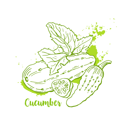 Green Cucumber in hand drawn watercolor painting on white background.