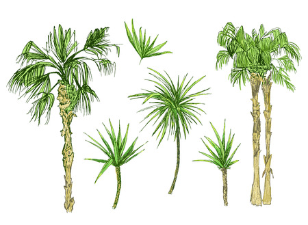 Set of isolated coconut or queen palm trees with leaves. Beach and rainforest, desert coco flora. Foliage of subtropical fern. Green palmae or jungle arecaceae.Island climate,botany, environment theme