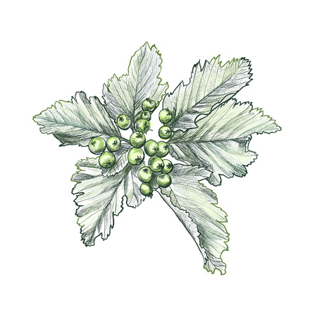 Branch of rowan berry sketch, mountain-ashes twig, ash tree raceme for scrapbook, foliage of rowan-tree bouquet with leaves, cluster of raw berries. Botany and flora, seasonal fruit theme Illustration