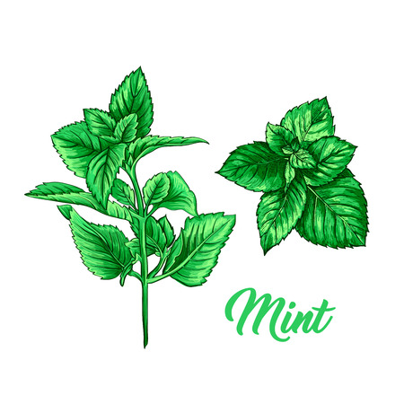 Green Mint Branch Set. Tea Herb Theme. Isolated Hand Painted Realistic Drawing Illustration of Peppermint or Spearmint Botany Plant. Herbal Medicine and Aromatherapy Design on the White Background