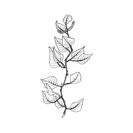 Birch tree branch contour line illustration. Tree twig with leaves and seeds on white background. Birch tree branch hand drawn autumn outline. Poster,banner,web design element. Isolated vector
