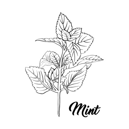Mint Branch Monochrome Engraving. Tea Herb Sketch. Isolated Hand Drawn Sketch Drawing Peppermint Illustration or Spearmint Botany Plant. Herbal Medicine and Aromatherapy Design on the White Background
