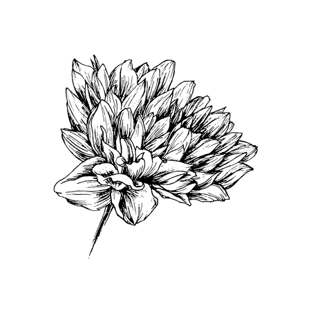 Chrysanthemum hand drawn vector illustration. Floral ink pen sketch. Black and white clipart. Realistic peony flower freehand drawing. Isolated monochrome floral design element. Sketched outline 스톡 콘텐츠