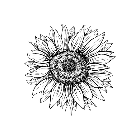 Illustrazione vettoriale disegnato a mano di girasole. Schizzo floreale della penna dell'inchiostro. Clipart in bianco e nero. Disegno a mano libera realistico di fiori di campo. Elemento di disegno floreale monocromatico isolato. Contorno abbozzato