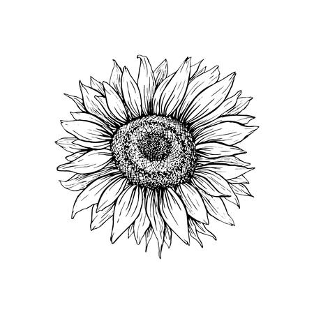 Ilustración de vector dibujado a mano de girasol. Dibujo de pluma de tinta floral. Clipart en blanco y negro. Dibujo a mano alzada de flores silvestres realista. Elemento de diseño floral monocromo aislado. Esquema bosquejado