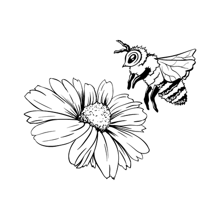 Chamomile Bud and Bee Pollination. Hand drawn ink pen illustration, flower freehand drawing, isolated sketch Ilustração