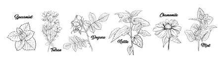 Insieme dell'incisione di piante di botanica delle erbe del tè. Schizzo isolato disegnato a mano illustrazione di contorno di Stinning Daisy o fiori di camomilla. Rosa canina, menta, erba di Tutsan. Ortica Erboristeria. Aromaterapia su bianco