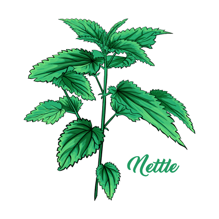 Green Nettle Branch. Tea Herb Theme. Isolated Hand Painted Realistic Marker Drawing Illustration of Stinning Botany Plant. Herbal Medicine and Aromatherapy Design on the White Background 向量圖像