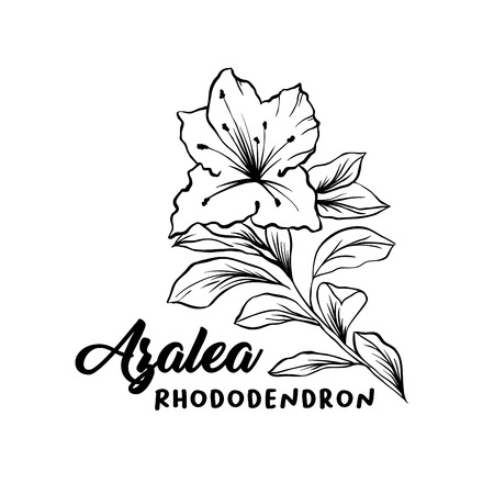 Azalea, ericaceae flowers hand drawn illustration. Beautiful blooming plant ink pen sketch. Freehand outline floral blossom engraving. Greeting card monochrome isolated design element Stock Illustratie