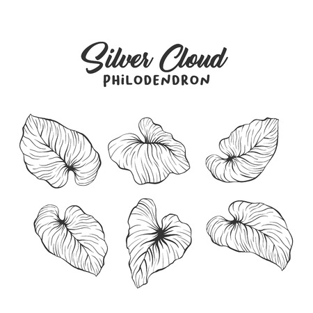 Palm leaves realistic hand drawn illustration. Tropical plant, foliage ink pen sketch. Philodendron mamei engraving. Greeting card botanical isolated design element. Rainforest flora outline drawing
