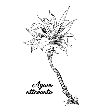 Agave attenuata, palm tree hand drawn illustration. Palm leaves ink pen outline sketch. Tropical plant freehand realistic engraving. Greeting card isolated monochrome design element Ilustração