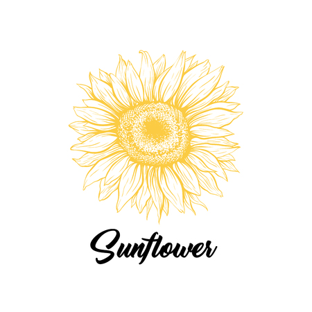 Sunflower yellow blooming sketch illustration. Summer flower with black calligraphy. Helianthus outline logo drawing. Floral, botanical isolated clipart. Eco farming logotype design vector idea  イラスト・ベクター素材