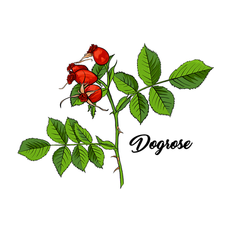 Red Dogrose or Wild Briar Rose. Rosehip Colored Sketch Design with Black Contour. Hand drawn vector isolated Illustration Stock Illustratie