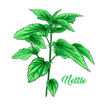 Green Nettle Branch. Tea Herb Theme. Isolated Hand Painted Realistic Marker Drawing Illustration of Stinning Botany Plant. Herbal Medicine and Aromatherapy Design on the White Background Ilustrace